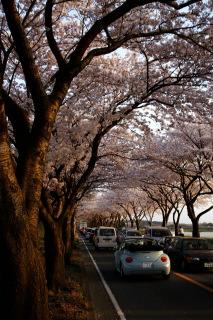 桜と君とワーゲンと1